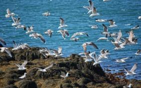Seagulls in Stykkisholmur