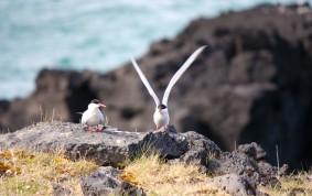 Arctic tern's